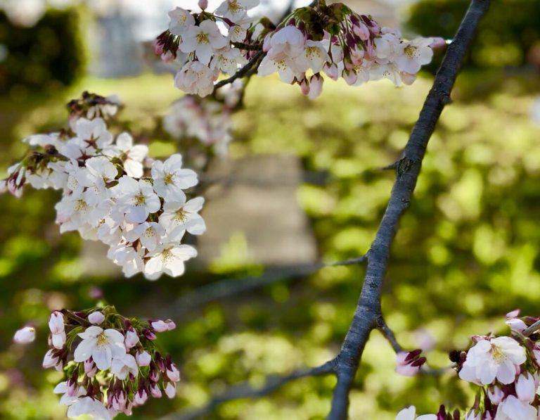 サービスが最高!AIC秋津洲京都に3月末観桜ランチに行ってきた!